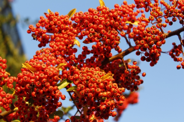 Orange Beeren vor blauem Himmel